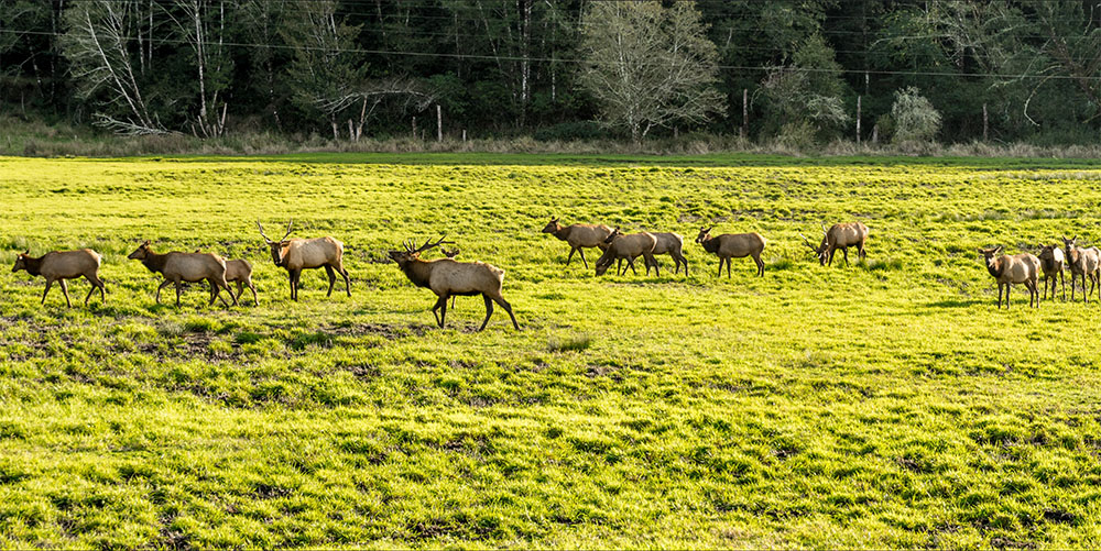 elk herd dean creek
