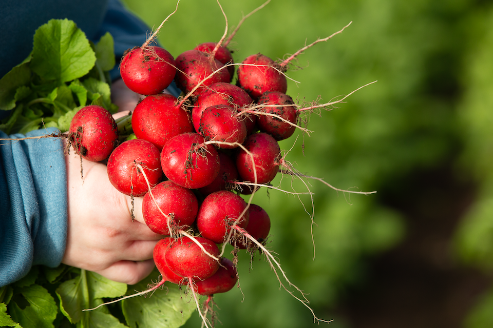 Farm Fresh Radishes
